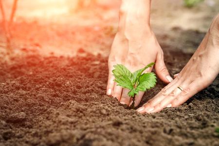 Frauenhände legen einen Spross in den Boden, Nahaufnahme, Konzept der Gartenarbeit, Gartenarbeit. Platz kopieren