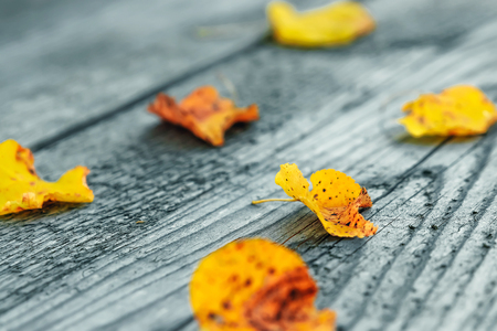 Yellow leaves on a wooden gray background. Imagens