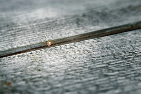 Single male giant house spider on a wooden slat background.