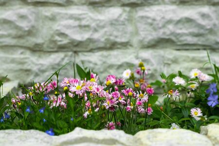 Blooming cultivar petunians (Petunia x hybrida) in cachepot in the summer garden Stok Fotoğraf
