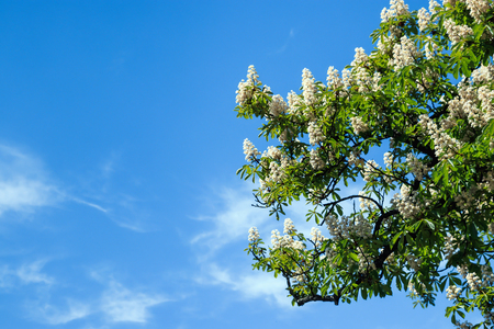 Chestnut tree with blossoming spring flowers against blue sky, seasonal floral background