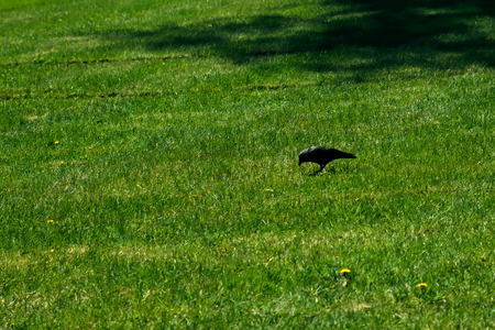 Bird of a jackdaw on a green lawn. Nature and environment. Stockfoto