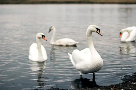 White swans stand in the water against the backdrop of the lake