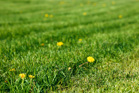 Yellow dandelions on a shaved green lawn Imagens