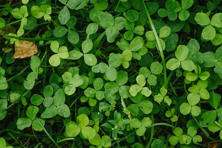 Leaf clover green background, floral background. Stock Photo