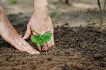 Womens hands put a sprout in the soil, close-up, Concept of gardening, gardening. Stock Photo