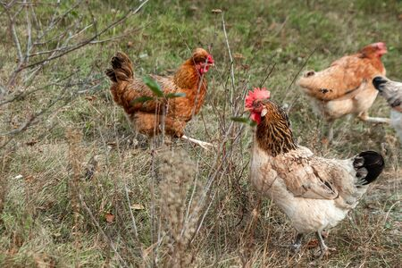 Beautiful chicken closeup outdoors on grass background. Concept poultry farm, chicken flu, farm, eggs