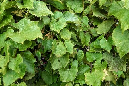 Green floral texture, wall of grape leaves