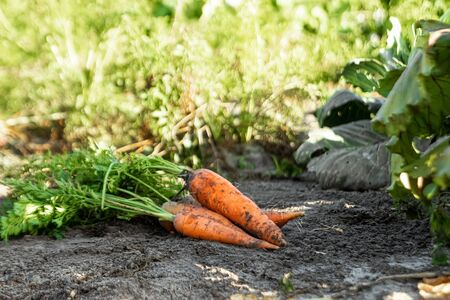 Fresh orange carrots lies on the garden bed, close-up, organic vegetables. The concept of a garden, cottage, harvest
