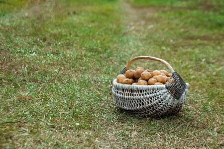 Fresh potatoes in a basket on the grass, organic vegetables. The concept of a garden, cottage, harvest