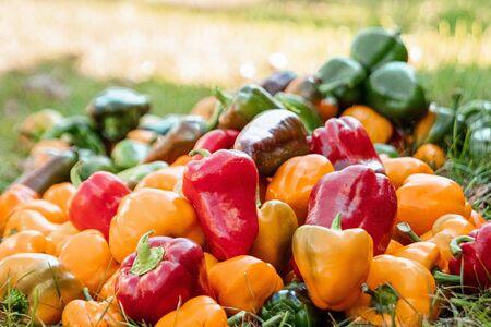 Een stelletje paprika's van verschillende kleuren, biologische groenten. Het concept van een tuin, huisje, oogst Stockfoto