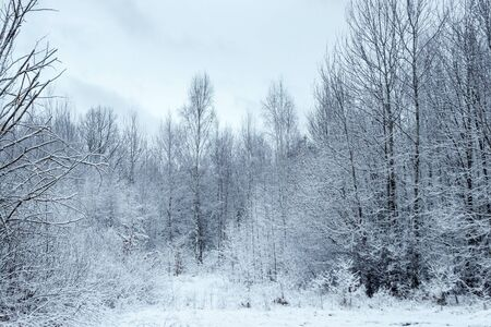 Winter white landscape with Christmas trees in the snow, Christmas background. Travel, Happy New Year, Merry Christmas