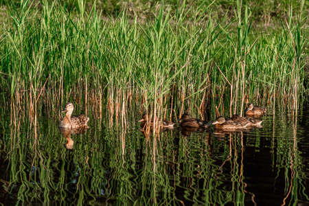 A brown duck with ducklings swims in the water in a line. Family, relationship, birds concept Stock Photo