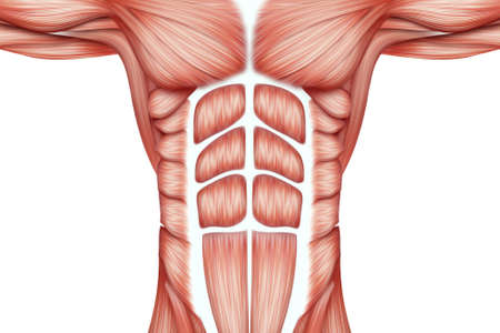 The structure of human muscles on the torso close-up, the biology of the muscular system. Human anotomy concept. 3D illustration, 3D render Stock Photo