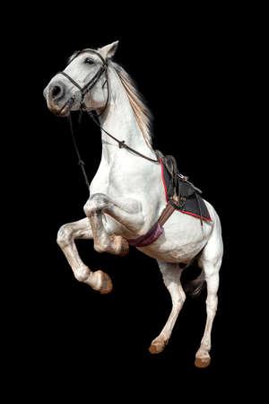 Beautiful white horse with a saddle rears up on a black background isolate. Jockey, hippodrome, horseback riding Фото со стока