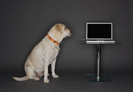trained: White dog (Labrador Retriever), looking at a laptop computer