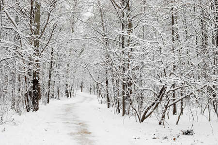 A pathway in the white woods during winter with the snow. Black branches without leaves. Flat light without shades and no sun.