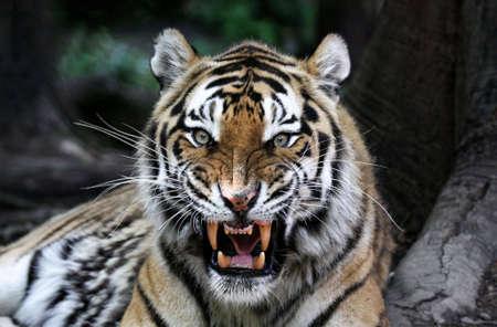 isolated tiger: Close up del volto di una tigre con i denti nudi