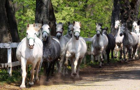 lipizzaner: Lipizzan horses running