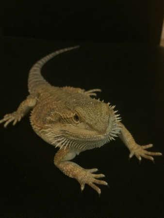 lizzard: Bearded dragon