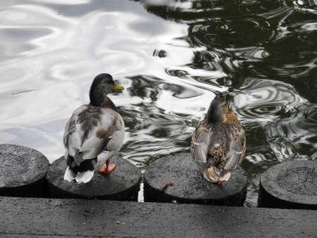webfoot: Thelove of ducks near the canal of Riga Stock Photo