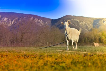 cud: Goats grazing in beautiful countryside Stock Photo