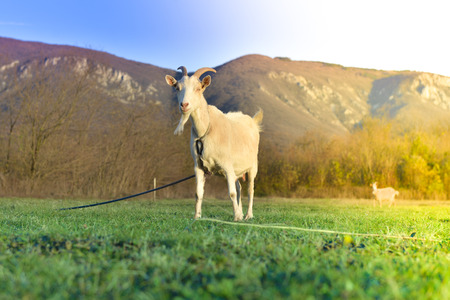 Goats grazing in beautiful countryside Stock Photo