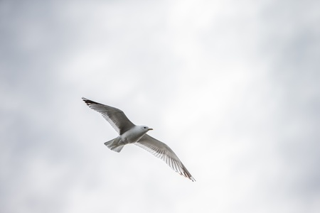 Seagull flying over with white clouds