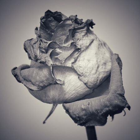withered rose black and white