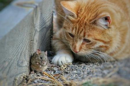 Hermoso gato divertido y astuto juega con el ratón capturado