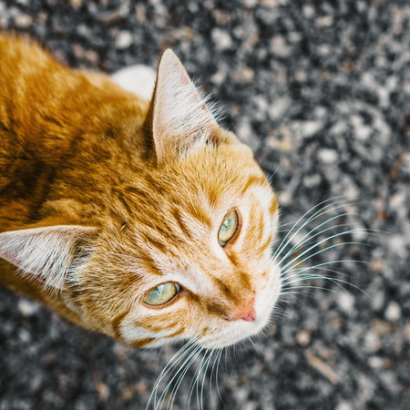 Beautiful stripy ginger cat with white whiskers, view from above.