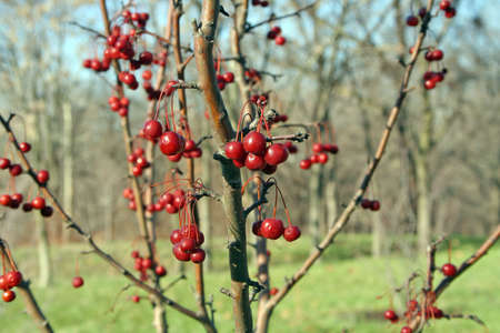 A group of winter berries
