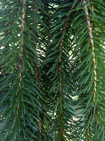pine needles close up: close up of pine needles Stock Photo