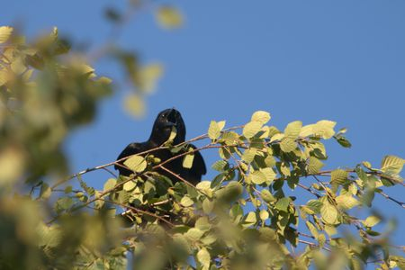 Sqwaking Chatty Black Crow sitting at the top of a tree in the leaves.