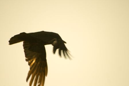 wingtips: Black Crow Bird Wings of Speed flying across a warm hazy sky background. Stock Photo