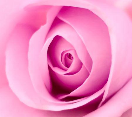 Dramatic Macro Detail of Pink Rose Flower Nature Background