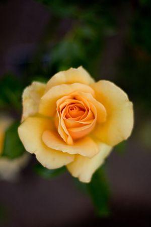 Dramatic Macro Detail of Yellow Rose Flower Nature Background