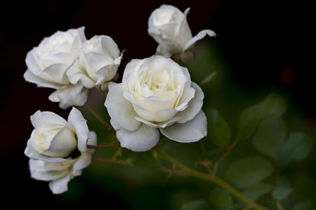 White Roses on stems against a black background in this nature scene. Archivio Fotografico