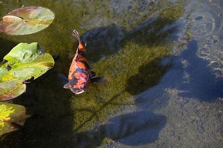 Orange Koi Fish also know as Goldfish coming to the surface with mouth wide open in the pond. photo