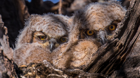 Juvenile Great Horned Owls in Nest Фото со стока