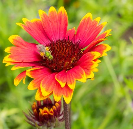 Pollen Laden Green Bee on Indian Blanket