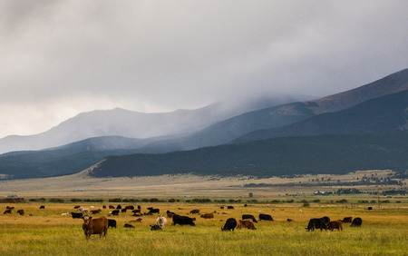 Cattle Ranching in Colorado Rocky Mountains Stock Photo