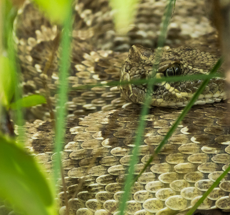 Prairie Rammelaar-slang