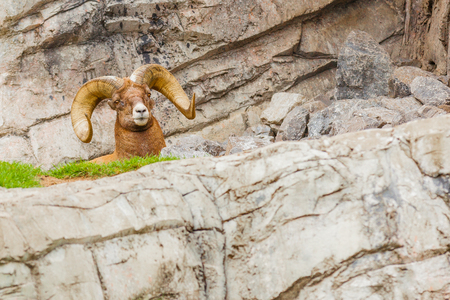 bighorn sheep close up jasper national park canada Banco de Imagens - 90234621