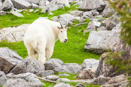 rocky mountain goat close up jasper national park canada