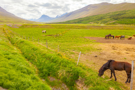 icelandic horses in summer in ranch Stock Photo