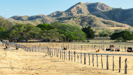 fence with cows in Costa Rica in morning sunny Stock Photo
