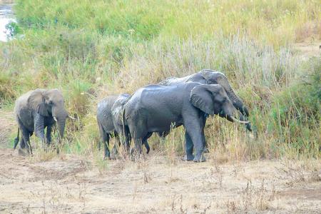 four elephants in the Kruger Park South Africa landscape