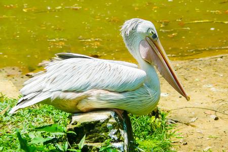 sitting pelican portrait in nature
