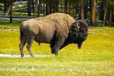 American bison in nature Wyoming Yellowstone Park